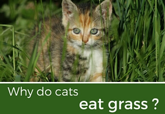 why do cats eat grass