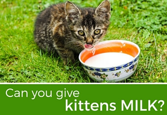 Can you give kittens milk