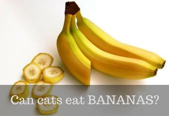 cat eating bananas