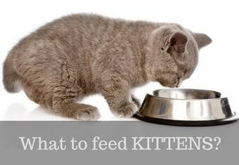 Feeding tips for kittens