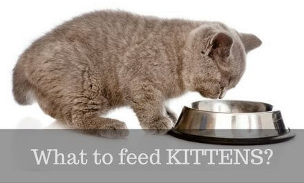 What to feed kittens? (Everything you need to know)