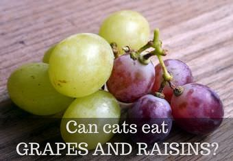 can cats eat grapes and raisins