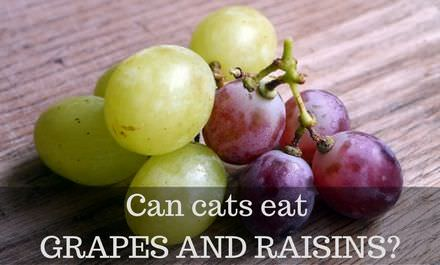 Can cats eat Grapes and Raisins?