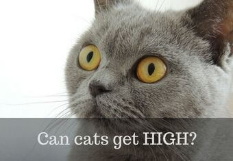 do cats get high