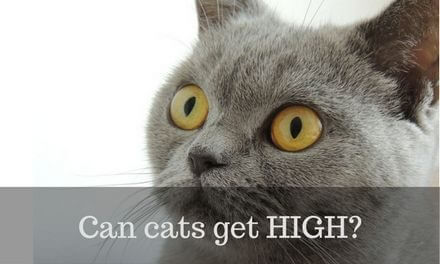 Can cats get High?