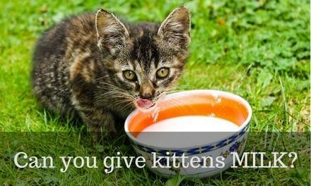 Can you give kittens milk?