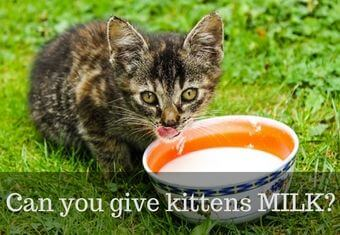 kittens and milk