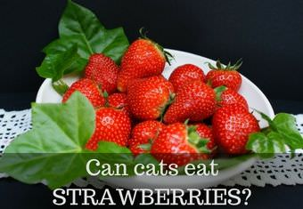 cat eating strawberries
