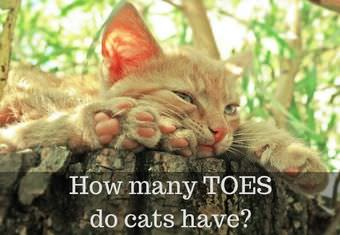 how many toes do cats have