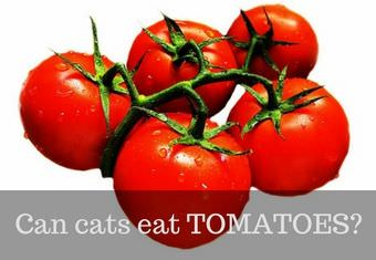 can cats have tomatoes