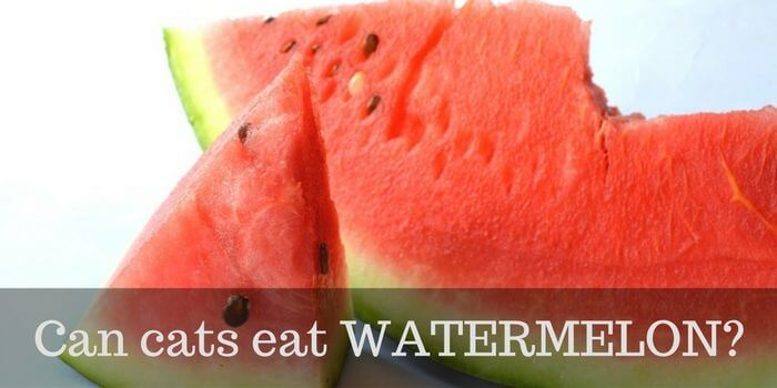 can cats eat watermelon cattention