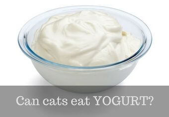cat eating yogurt