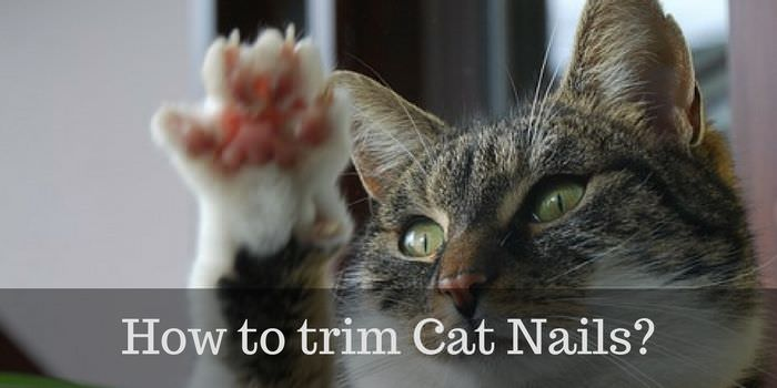 Trimming cat nails