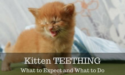 Kitten Teething: what to Expect and what to Do