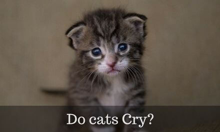 Do cats Cry? – The whole truth about Cat Tears
